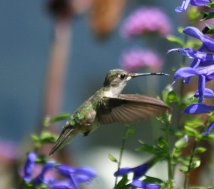 Ruby Throated Hummingbird eating from Purple Salvia