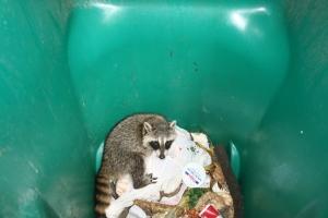raccoon 002