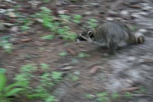 raccoon 004