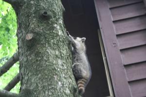 raccoon 007